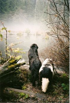 Newfoundlands in the Mist!