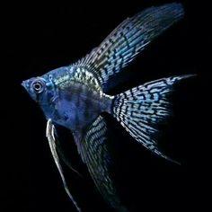Aquarium Filters And Aquarium Supplies Tropical Freshwater Fish, Tropical Fish Aquarium, Freshwater Aquarium Fish, Planted Aquarium, Pretty Fish, Cool Fish, Beautiful Fish, Aquascaping, Discus Fish