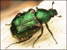 Noble chafer. Feeds on dead wood, usually of trees >50 years old
