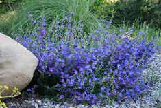Image result for foothill penstemon margarita bop
