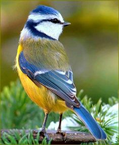 Vögel - Blaumeise - The Effective Pictures We Offer You About Cutest Baby Animals Cute Birds, Pretty Birds, Beautiful Birds, Animals Beautiful, Funny Birds, Birds 2, Small Birds, Beautiful Pictures, Exotic Birds