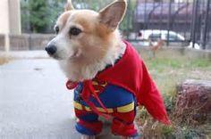 Superhero Corgi - Yahoo Image Search Results