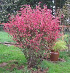 Red Flowering Currant Hummingbirds feed from brilliant pink to red blooms in the spring, and other birds enjoy currants in the fall. A showy specimen plant or massed in the back border, this shrub is a gardeners favorite.