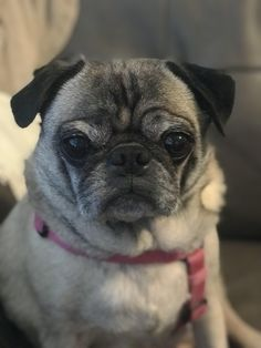 Scarlett is loving portrait mode lately dogs Pug Puppies, Pugs, Chihuahuas, Dog Tattoos, Animal Tattoos, Pug Love, I Love Dogs, Chihuahua Tattoo, Dogs Trust