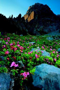 Alpine Roses in Innsbruck (Tyrol) Austria.