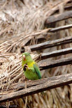 Parakeet - Panama