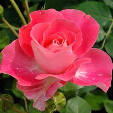 roses delbard -