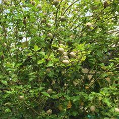 White gardenia, Forest gardenia, Wild gardenia (Gardenia thunbergia) seed pods. #yardlandscaping #plants #trees #gardenia #gardens #garden #gardening #nature #plants #gardenlife #gardendesign #gardensofstagram #gardener #gardeninspiration #photography #gardenlove #naturephotography #landscape #landscaping #mygarden #landscapedesign #spring #green #trees #art #plant #summer #bhfyp Gardenia, Trees To Plant, Land Scape, Seeds, Fruit, Xmas, Tree Planting
