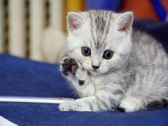 保存 動物 写真 - 灰色の線と白猫 背景