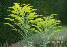 Goldenrod Beside A Hedge. Abstract rendered from a photograph of some goldenrod beside a hedge.  Fine Art Photography http://rob-huntley.artistwebsites.com © Rob Huntley