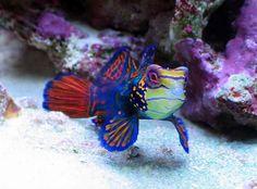 goby fish saltwater | Saltwater aquarium fish photos - Marine tropicals - Pinellas Aquariums