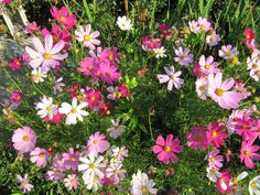 Cosmos Bipinnatus - Candy Land by Live Mulch #cosmos #pink cosmos Garden, Plants, Ground Cover, Cosmos, Grounds, Landscape, Seeds, Mulch
