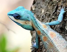 #Lizard #agama #reptile