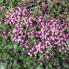 THYMUS doerfleri (Thym) : Tapissants ou arbustifs, ils n'ont pour seule exigence qu'un grand besoin de soleil. Leur feuillage est souvent aromatique. Ils apprécient les sols poreux et secs. Tapissant, vigoureux et ras. Feuillage vert clair. Abondante floraison rose. Tapis, dallage, rocaille, muret, couverture de petits bulbes.