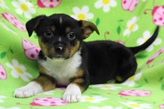 Meet Little Bird, an adoptable Shetland Sheepdog Sheltie looking for a forever home. If you're looking for a new pet to adopt or want information on how to get involved with adoptable pets, Petfinder.com is a great resource.