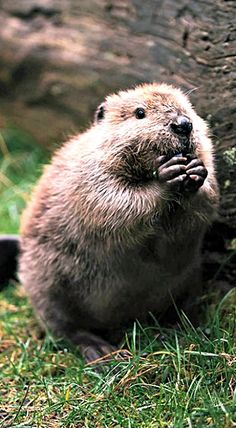 April 7th is International Beaver Day
