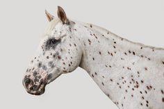 Leopard Appaloosa Horse No. 2