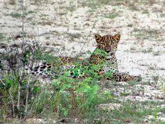 The leopard is the top predator in Wilpattu National Park in northwestern Sri Lanka. Predator, Sri Lanka, National Parks, Top, Animals, Animaux, Animal, Animales, Shirts