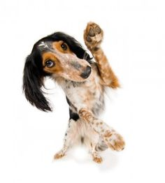 Your dogs paws are essential to his well being and mobility. In this post we show you how to take care of your dogs paws.  http://miniaturepaws.com/how-to-treat-a-paw-injury/