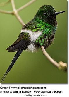 Hummingbirds - Nature Animals Birds Hummingbird Green Thorntail (Discosura conversii) Hummingbird