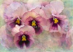 Some winter flowering pansies lined up beautifully . .  .textures by French Kiss Textures • Buy this artwork on home decor, stationery, bags und more.
