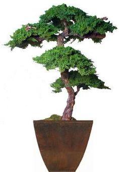 6 foot Monterey Preserved Bonsai Tree