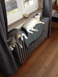 Les Chats et les Radiateurs ....... en duo sur une couverture ......... mais elle est trop petite pour deux