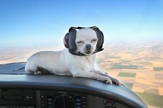 Aviator Chihuahua wearing Mutt Muffs.