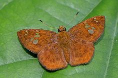 BugsAlive posted a photo:  Mae Kampong, Chiang Mai, Thailand  Family : Hesperiidae  Sub-Family : Pyrginae  Species : Pseudocoladenia dan fabia  Distribution of Pseudocoladenia dan is restricted to South and South-East Asia only, namely in India, Bhutan, Bangladesh, Myanmar, Thailand, peninsular Malaysia, Singapore, Indonesia, Vietnam, China, and Taiwan. It is a small and fast flying skipper with a wingspan of 30-36mm. It is essentially a forest dwelling species and is usually found in well…