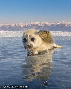 #photographer #photography #ice #anima #cuteanimals #cutepuppy #Seal #instantfollow #Followme #followback #instantfolllowback #follow #follo #followback #amazing #photograph #ocean