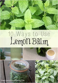 Herbs Gardening 10 Ways to Use Lemon Balm including medicine, food, body products, and more from Homespun Seasonal Living - Lemon Balm is a bushy perennial herb that has a multitude of uses both culinary and medicinal, here are 10 ways to use lemon balm. Healing Herbs, Medicinal Plants, Natural Healing, Herbal Remedies, Home Remedies, Lemon Balm Uses, Culture D'herbes, Wild Edibles, Growing Herbs