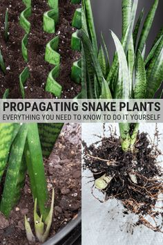 house plants 85568461657442632 - Learn how to propagate snake plants, including how to propagate snake plant cuttings in water and how to propagate snake plants in soil. Indoor Gardens, Inside Plants, Plants, Succulents Garden, Growing Plants, Propagating Plants, Plant Care, Snake Plant, Outdoor Plants