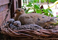 NestWatch -- mourning dove with chicks