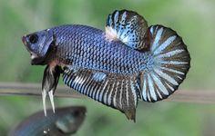 fwbettashmp1420014389 - Blue Dragon Giant !!!