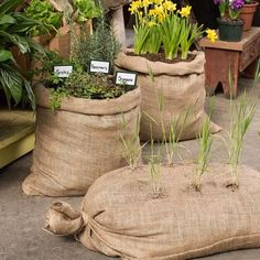 Strong, genuine burlap bags, made of 100 percent natural fibers. Use for feed storage, growing plants or for a fun, old-fashioned sack race. Set of 3 Approx. Organic Horticulture, Organic Gardening, Vegetable Gardening, Growing Plants, Growing Vegetables, Garden Projects, Garden Tools, Garden Bags, Garden Fun
