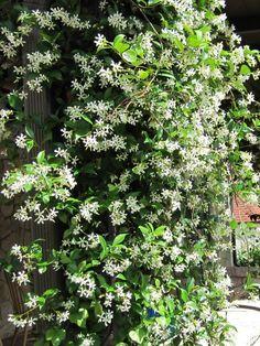 Actinidia kolomikta Twisting, avec des feuilles panachées et de petites fleurs blanches d'été. Clematis armandii