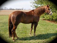 My Dream Mare :D Quarter Horse Mare For Sale in Ohio equine.com