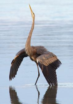 this is a wonderful picture of a mature heron defending it's territory......saw this once at vasona......