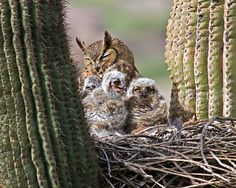 wapiti3:  Great Horned Owl with 3 Chicks on Flickr.Via Flickr: photo by DAVE DISE
