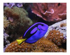 Google Image Result for http://imagecache5.art.com/p/LRG/14/1417/RSDR000Z/josh-williams-blue-hippo-regal-tang--saltwater-fish-and-corals.jpg