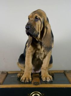 A Bloodhound Named Nathan 2015 Westminster Dog S...