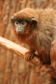 Red Titi Monkey (Callicebus cupreus) | by Amanda J M
