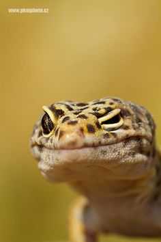 Leopard Gecko by Peter Krejzl on 500px