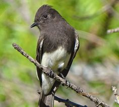 Beautiful bird! ♡  Black Phoebe