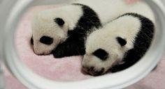 El zoo de Viena invita a votar en internet por el nombre de un panda bebé - http://wp.me/p7GFvM-cDG