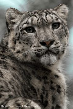 snow leopard - - I want one. I could feed the wild ones too. Amur Leopard, Snow Leopard, The Leopard, Animals And Pets, Funny Animals, Cute Animals, Big Cats, Cool Cats, Beautiful Cats
