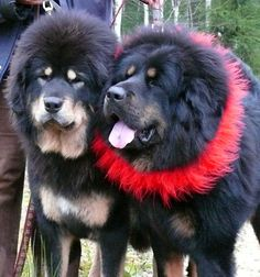 Tibetan mastiffs wedding day