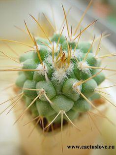 Mammillaria crassa cactus Cactus Plante, Cactus Cactus, Cactus Flower, My Flower, Cool Succulents, Planting Succulents, Succulent Bonsai, Xeriscaping, Rainbow Flowers