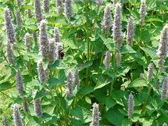 Anise Hyssop: Can't wait for this one to flower! I'm hoping for chamomile/hyssop tea.