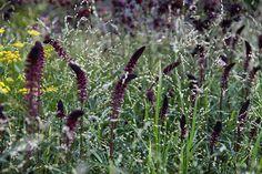 lysimachia atropurpurea beaujolais and grass